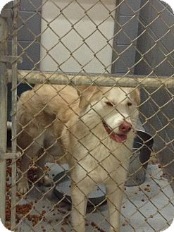 Golden Retriever/Husky Mix Dog for adoption in Schererville, Indiana - Goldie