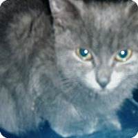Adopt A Pet :: Bluebelle - Pasadena, CA