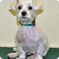 Adopt A Pet :: Joy - Port Washington, NY