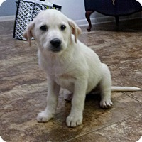 Adopt A Pet :: Snowflake - Adopted! - Ascutney, VT