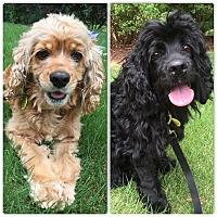 Adopt A Pet :: Fancy - Alpharetta, GA