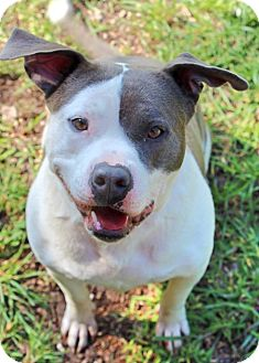 American Pit Bull Terrier Mix Dog for adoption in Woodlyn, Pennsylvania - Cupcake