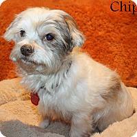 Adopt A Pet :: Bordentown NJ - Chip - New Jersey, NJ