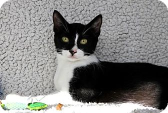 Domestic Shorthair Cat for adoption in jacksonville, Florida - I'M DELILAH, THE MARDI-GRAS KITTY!
