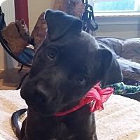 Adopt A Pet :: Gidget - Dripping Springs, TX