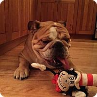 Adopt A Pet :: Thatcher - Park Ridge, IL