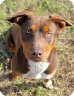 Rottweiler/Labrador Retriever Mix Dog for adoption in Memphis, Tennessee - Hawkeye