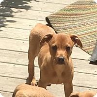 Adopt A Pet :: Reuben - Holly Springs, NC