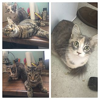 Domestic Shorthair Kitten for adoption in Everman, Texas - Charlie and Marley