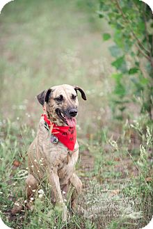 Shepherd (Unknown Type)/Whippet Mix Dog for adoption in King City, Ontario - Beni