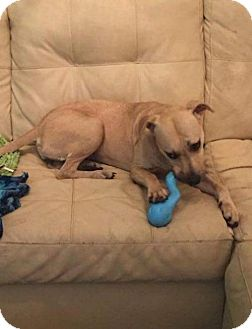 Black Mouth Cur Mix Dog for adoption in Lake Placid, Florida - Ruthie