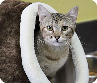 Domestic Shorthair Cat for adoption in Benbrook, Texas - Jessi