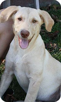 Labrador Retriever Mix Dog for adoption in Joplin, Missouri - Chelsea