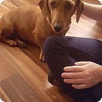 Dachshund Dog for adoption in Lubbock, Texas - LEXI