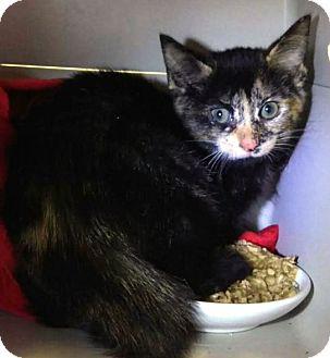 Domestic Longhair Kitten for adoption in Kalamazoo, Michigan - Peek-a-Boo