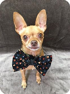Chihuahua Mix Dog for adoption in Philadelphia, Pennsylvania - Lindo