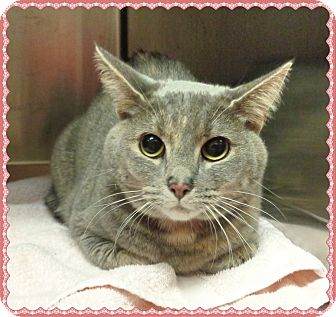 Domestic Shorthair Cat for adoption in Marietta, Georgia - ALLY