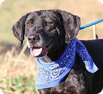 Labrador Retriever Mix Dog for adoption in Marietta, Ohio - Simpson (Neutered)-New Photos