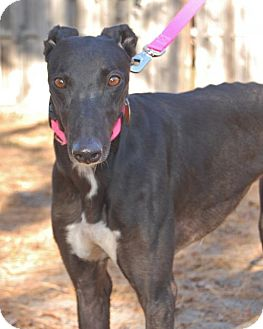 Greyhound Dog for adoption in Cherry Hill, New Jersey - Leaping Lila