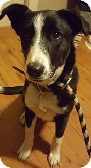 Border Collie/Labrador Retriever Mix Puppy for adoption in Cleveland, Ohio - Katnis