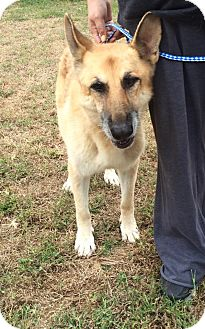 German Shepherd Dog Mix Dog for adoption in Nashua, New Hampshire - Tiffany