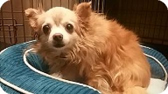 Chihuahua/Pomeranian Mix Dog for adoption in Dodge City, Kansas - Little Red