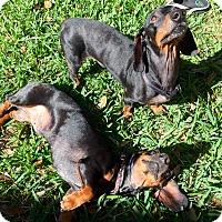 Adopt A Pet :: Bert and Ernie - Windermere, FL