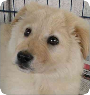 Chow Chow Mix Puppy for adoption in El Cajon, California - Princess