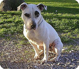 American Pit Bull Terrier Mix Dog for adoption in St. Charles, Missouri - Lucky aka Groucho