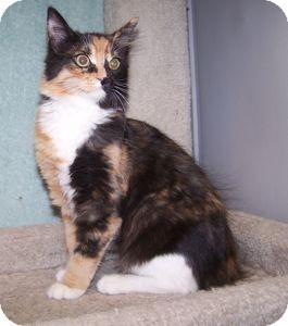 Domestic Shorthair Kitten for adoption in Colorado Springs, Colorado - K-Dave1-Petal