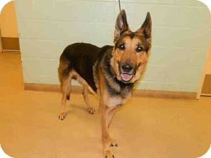 German Shepherd Dog Dog for adoption in North Wales, Pennsylvania - Adolph