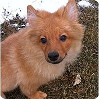 Adopt A Pet :: Enzo - Minnetonka, MN