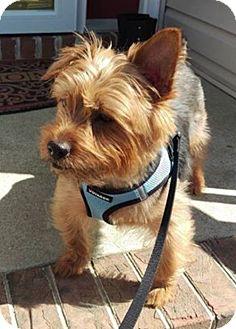 Australian Terrier/Cairn Terrier Mix Dog for adoption in Hampton, Virginia - Mico