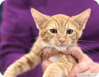 Domestic Shorthair Kitten for adoption in Westchester, California - Harpo