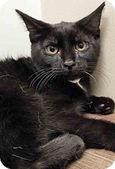 Domestic Shorthair Kitten for adoption in Shorewood, Illinois - Baxter
