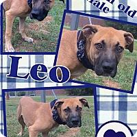 Adopt A Pet :: Leo - Lexington, NC