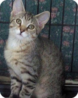 American Shorthair Kitten for adoption in Rochester, New York - Jane