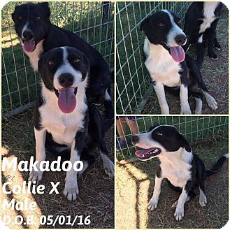 Collie Mix Puppy for adoption in DeForest, Wisconsin - Makadoo
