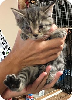 Domestic Shorthair Kitten for adoption in Loogootee, Indiana - Trudy