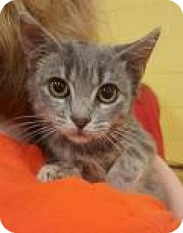 Domestic Mediumhair Kitten for adoption in Summerville, South Carolina - Aspen