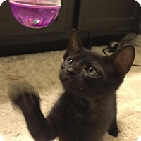 Adopt A Pet :: Thackery Binx - Dallas, TX