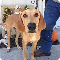 Hound (Unknown Type)/Retriever (Unknown Type) Mix Dog for adoption in Kittery, Maine - Copper