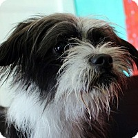 Terrier (Unknown Type, Small) Mix Dog for adoption in North Las Vegas, Nevada - Kaden