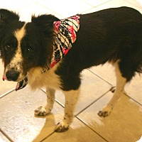 Border Collie Mix Dog for adoption in Pilot Point, Texas - Brandi