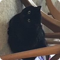Adopt A Pet :: BlackieCP - Carlisle, PA