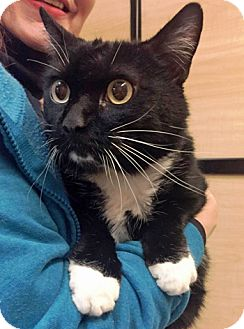 Domestic Shorthair Cat for adoption in Lutherville, Maryland - Gary