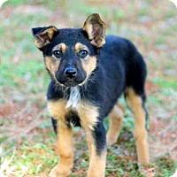 Adopt A Pet :: PUPPY DIXIE - Norfolk, VA
