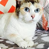 Adopt A Pet :: Fancy-pants - Addison, IL