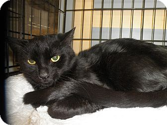Domestic Shorthair Cat for adoption in Highland Park, New Jersey - Flacco