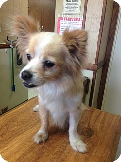 Chihuahua Dog for adoption in Fremont, California - Skippy (CP)